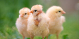 Dagfård kycklingar ECC