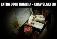 Dold kamera krav slakteri